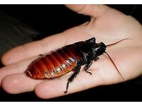 12 Giant Madagascan Hissing Cockroach and tank