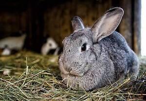rabbit in bowral area, nsw | rabbits | gumtree australia free