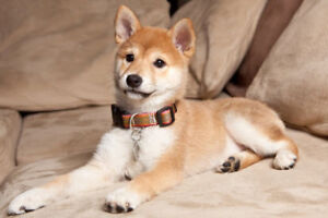 Looking for a Shiba Inu