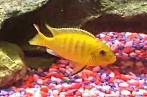 I have 37 cichlid fry the first 2 are  the parents  Peterborough Peterborough Area image 2