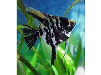 ANGELFISH TROPICAL FISH