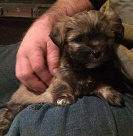 Maltese x puppy, female Beechina Mundaring Area Preview