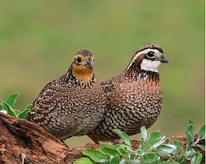WANTED: BOBWHITE QUAIL HATCHING EGGS
