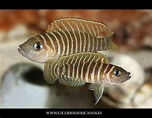 SHELL DWELLERS-african cichlids