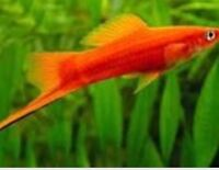 Fish.   Tropical Swordtails