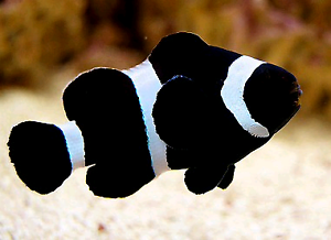 two black ocellaris clown fish for sale fish gumtree australia