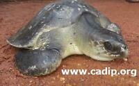 Sea turtle conservation in India