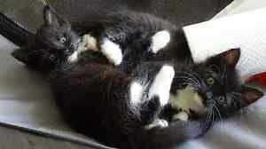 Meena  and  Otto - KITTEN KAPERS RESCUE Birkdale Redland Area Preview