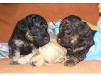 Phantom Miniature Poodle puppies