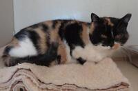 "Adult Female Cat - Calico: ""Martha"" Ottawa Ottawa / Gatineau Area Preview"