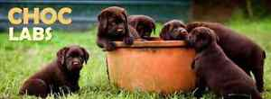 Chocolate Labrador puppies - estimated ready date March 2017 Deception Bay Caboolture Area Preview
