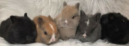 Wanted: LOOKING FOR A  BABY NETHERLAND DWARF RABBIT