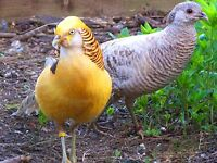 Pair of Golden Pheasants $100 OBO