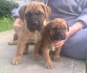 FRENCH/ENGLISH MASTIFFS  READY to go