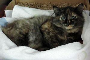 "Young Female Cat - Domestic Medium Hair: ""Kalijah"""