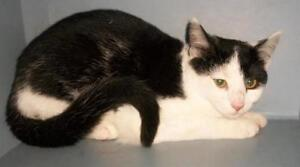 """Young Female Cat - Domestic Short Hair: """"Hillary"""""""