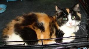 "Young Female Cat - Domestic Long Hair-Calico: ""Bobby Sue"""