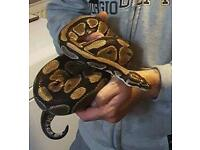 Royal python with setup