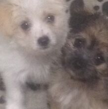 Absolute beautiful tea cup Maltese puppies for sale Sydney City Inner Sydney Preview