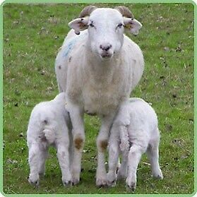 Sheep Wiltshire horn ewes for sale $100 each