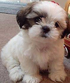 Wanted. Maltese Shih Tzu Puppy