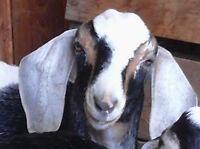 Purebred Nubian goat for sale