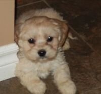Wanted: a Shih-Poo or Coton-Poo female puppy