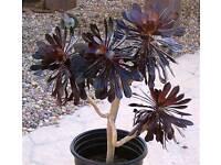 Aeonium Zwartkop, Black succulent plants