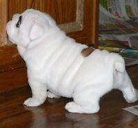 Adorable  Snow White English Bulldog Puppies