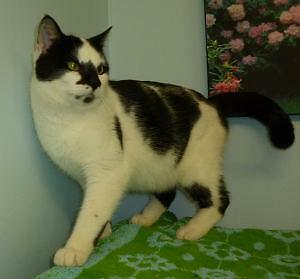 "Adult Male Cat - Domestic Short Hair: ""M/C - 03 Zoro"" London Ontario image 1"