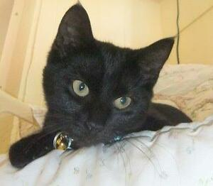 """CAPS kitten """"Cora Beth"""" 6 mths, spayed, vaccinated, microchip"""
