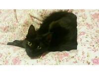 Lost 7-month-old kitten in Merthyr area (Thomastown)