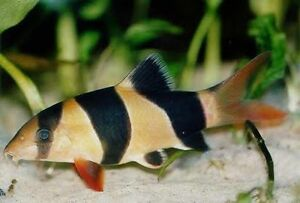 Looking for clown loaches