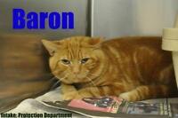 "Adult Male Cat - Domestic Short Hair: ""Baron"""