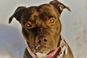 Adult Male  - American Staffordshire Terrier-Mixed Breed