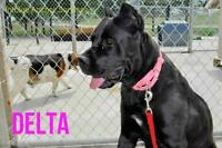 "Adult Female Dog - Cane Corso Mastiff: ""Delta"""