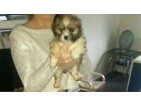 Laso apso puppies for sale