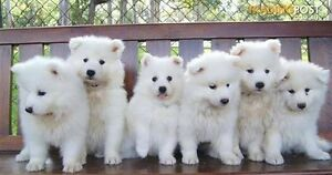 WANTED: Male Pure Bred Samoyed Puppy! Redland Bay Redland Area Preview