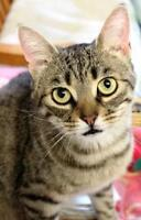 "Adult Female Cat - Tabby: ""Sheila"""