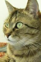 "Adult Female Cat - Domestic Short Hair: ""Rachel"""