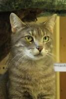 "Adult Male Cat - Domestic Short Hair: ""Scott"""