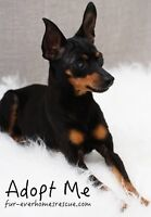 *** FREE *** 10 Year Old Min Pin - Lillian *** FREE ***