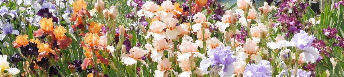 A&A Iris Garden