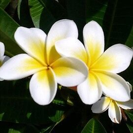 Frangipani trees Bexley North Rockdale Area Preview