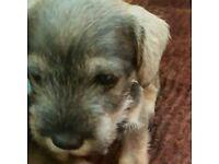 Miniture Schnauzer pup's