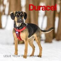 """Young Male Dog - Hound: """"Duracel"""""""