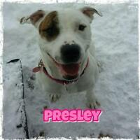 "Adult Female Dog - American Staffordshire Terrier: ""Presley"""