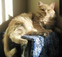 "Adult Female Cat - Domestic Medium Hair-orange-Tabby: ""Betty"""