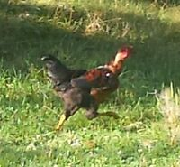 1 pair of Naked Neck chickens