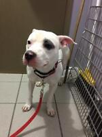 "Adult Male Dog - Pit Bull Terrier: ""Sarge"""